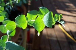 Eukaliptus